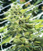Emerald Triangle Sour Lemon OG Female 5 Seeds